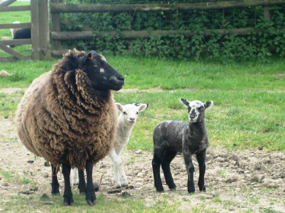 Naturally coloured Romney x Shetland commercial sheep flock