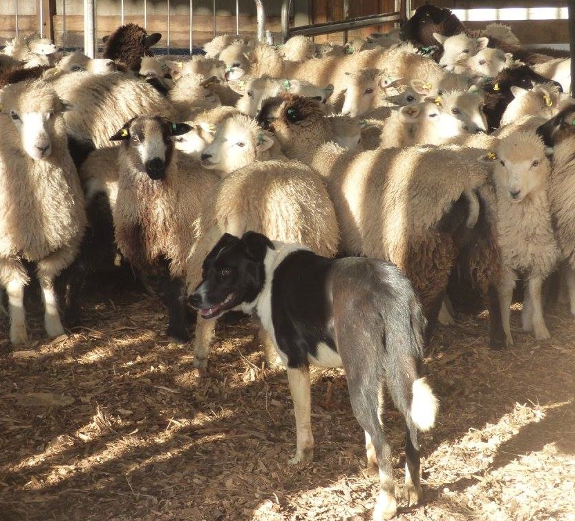 Weave the Border Collie dog penning lambs for shearing