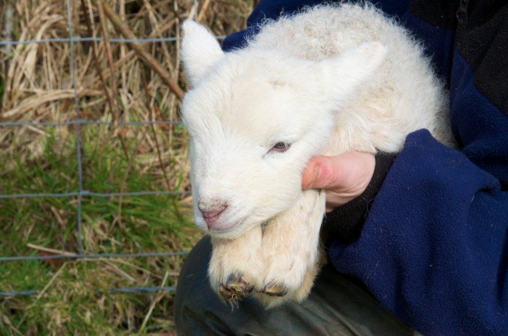 Fernhill Farm lamb.jpg