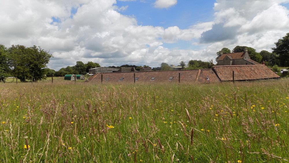 Buttercup Freds Field.JPG
