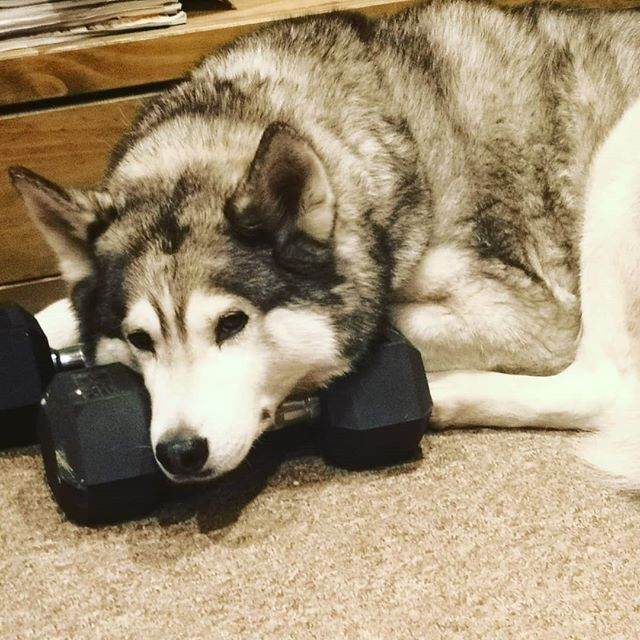 My best friend and workshop assistant turns 8 today. We have been together for 6 years, he's 'helped' on work for world famous artists and loves to meet all the staff. Not bad for the pup that no-one wanted.  Here he is casually pumping iron. To many more years buddy!  #lokithewolfdog #loki #husky #huskies #huskiesofinstagram #czechwolfdogsofinstagram #czechwolfdog #wolf #40kgoflove #happybirthday #dogslife #workshopdog #workshoplife #rescuedog #rescuedogsofinstagram #fluffmonster #leviathanworkshop