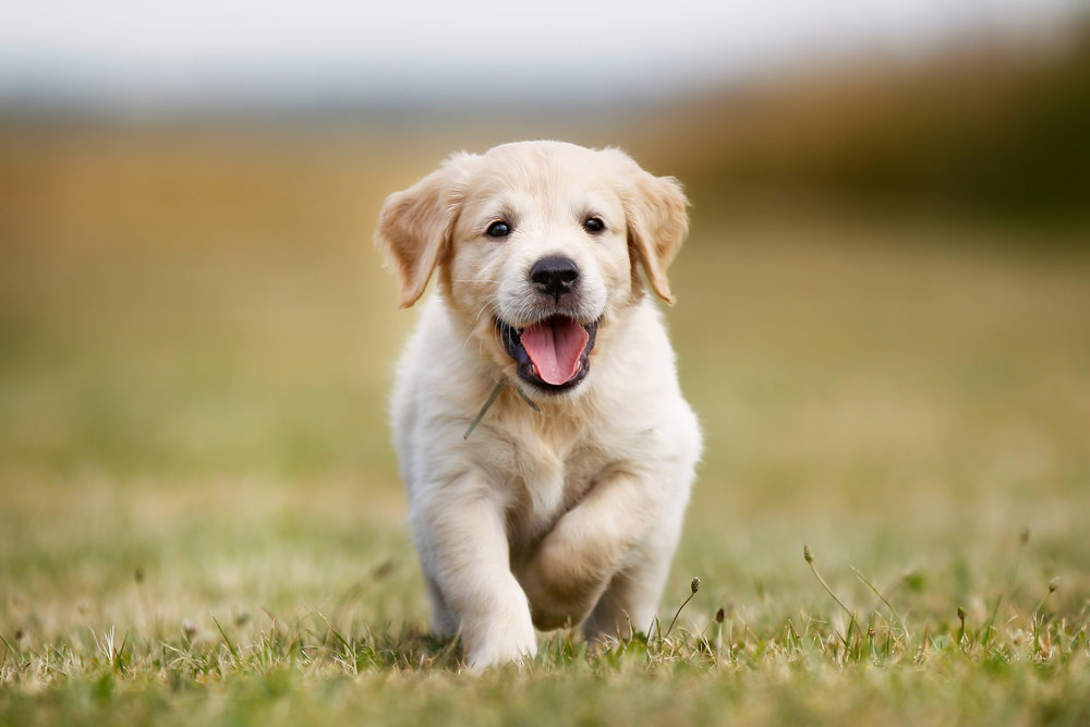 Happy-golden-retriever-puppy-521697453_3224x2149.jpeg