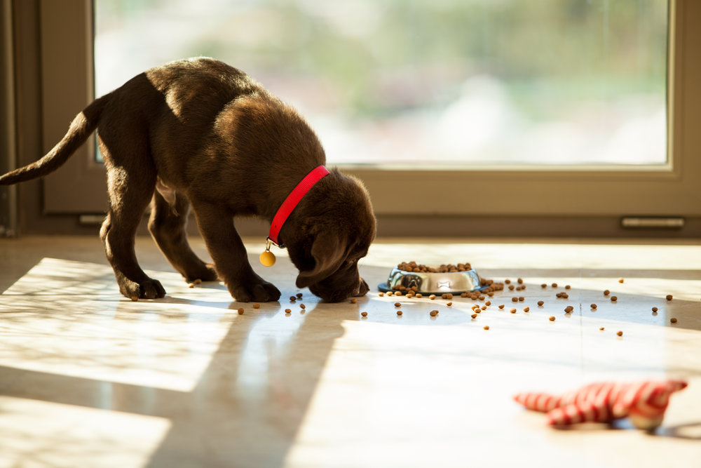 Cute-puppy-eating-from-its-plate-470406745_3867x2578.jpeg