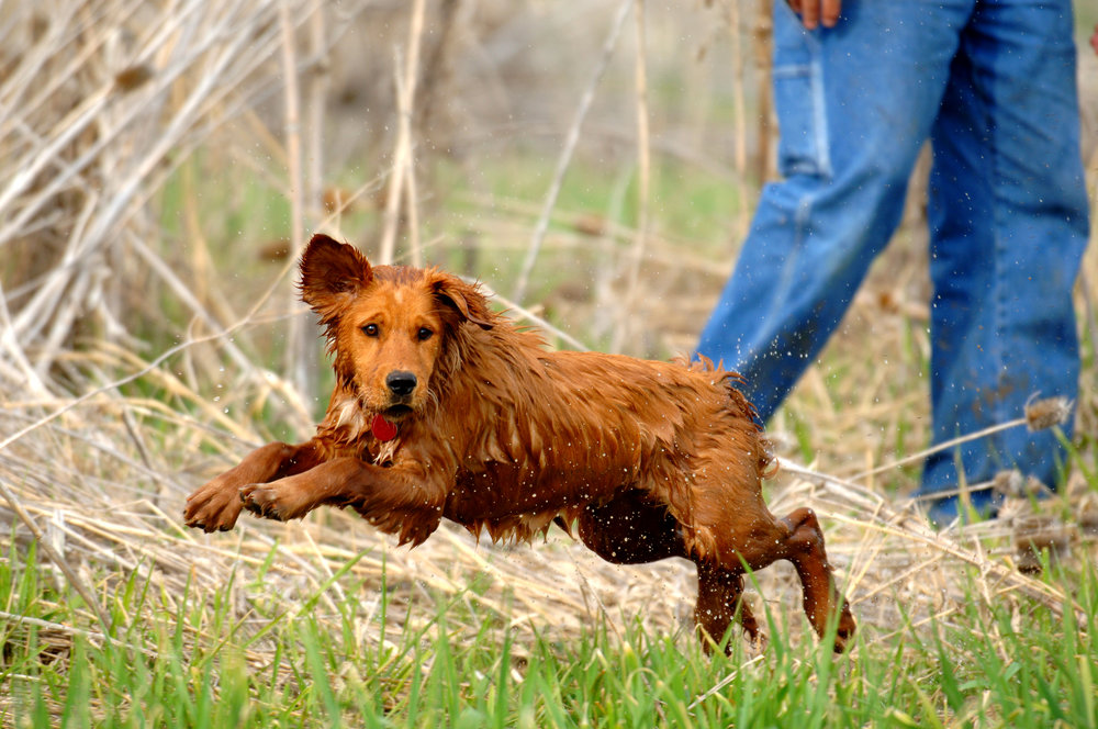 Golden-Retriever-Learning-to-Retrieve-152515926_4288x2848.jpeg