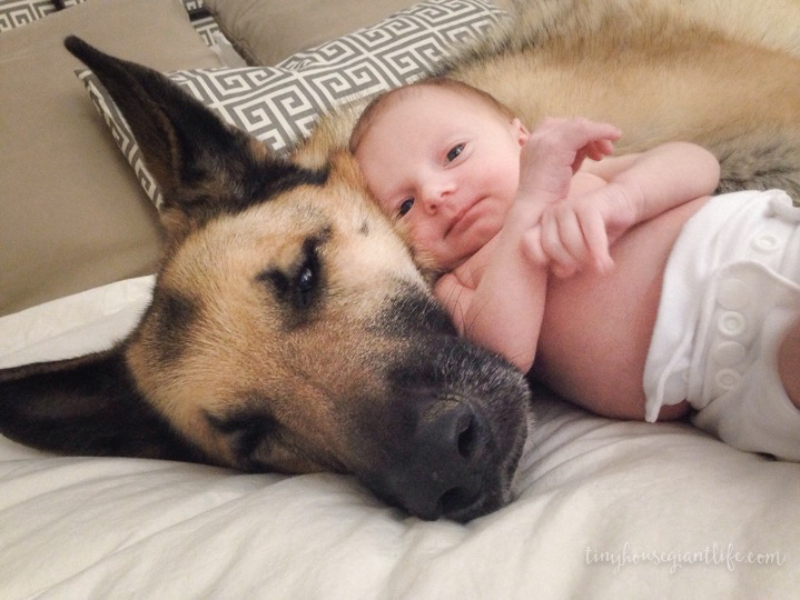 German Shepherd trigger with our daughter