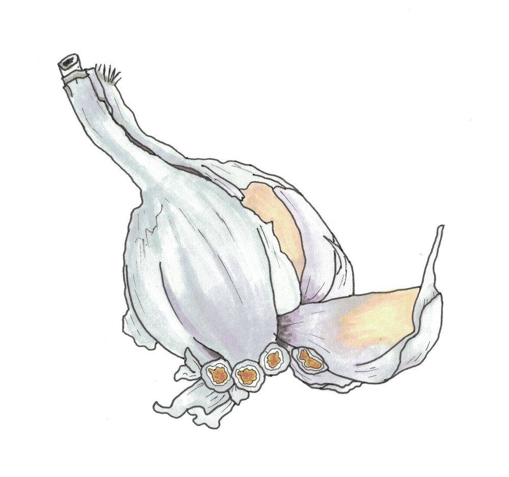 Garlic, for my @eatdrinkdraw food illustration project