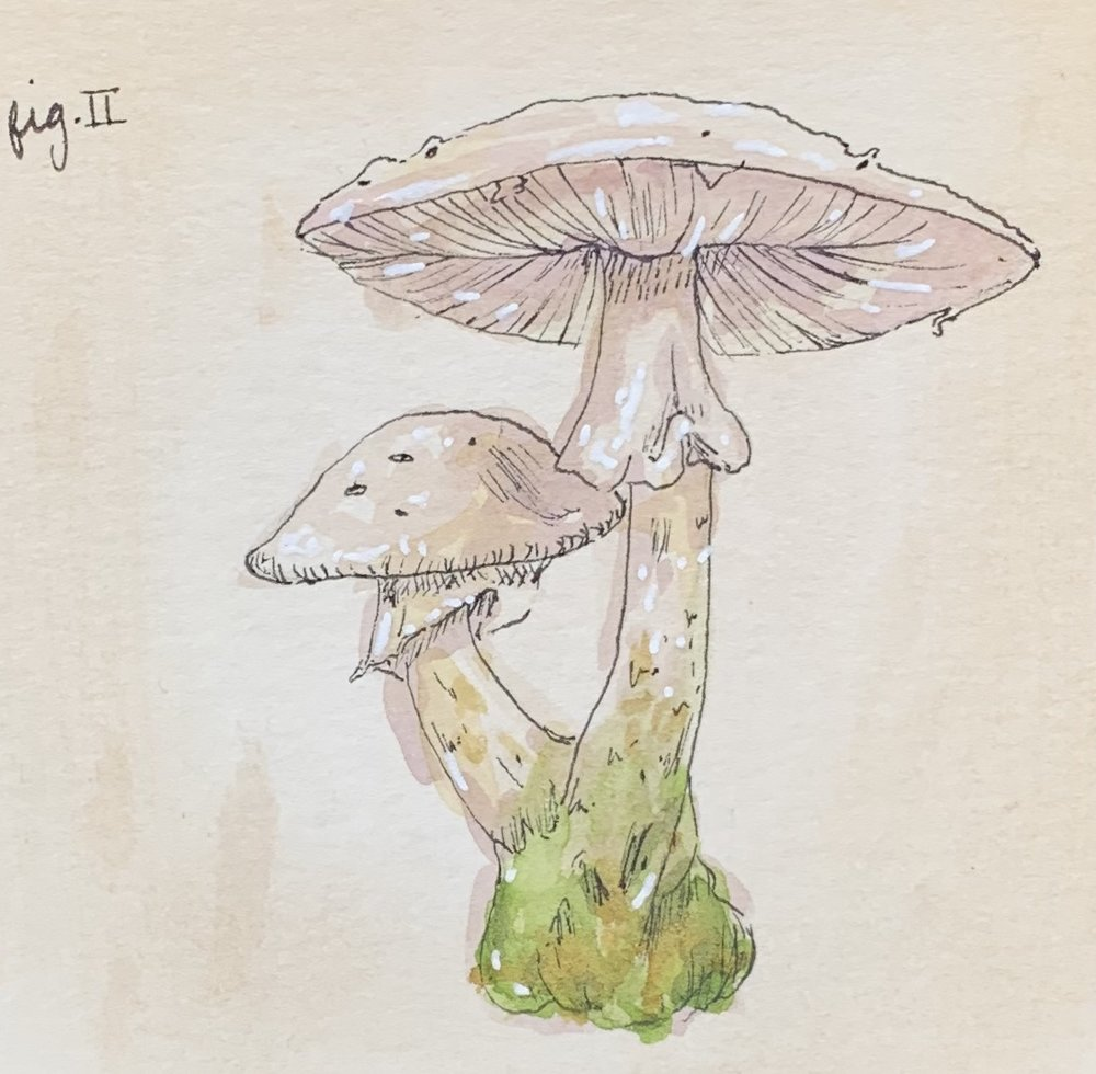 Amanita Illustration