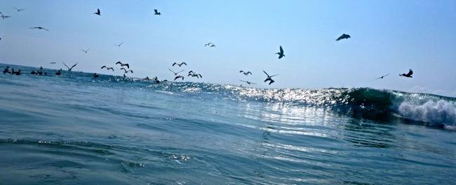 pelicans surf2
