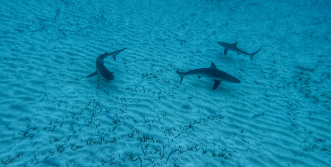 reef sharks.jpg