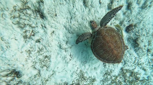 green cay turtle.jpg