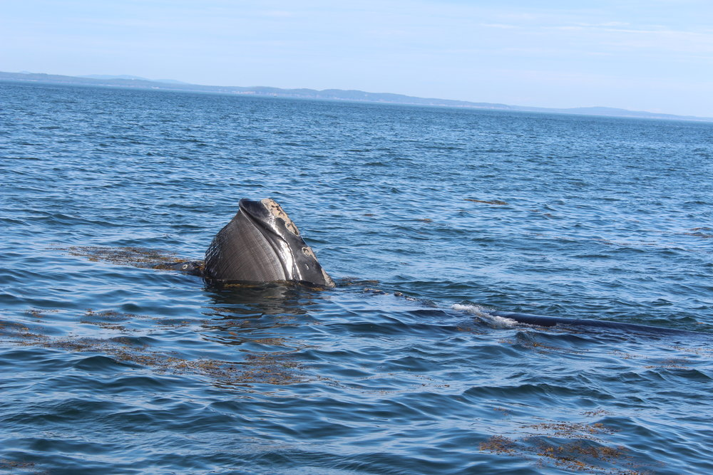 Endangered Right Whale, only 250 remain. PC: Richelle Gribble