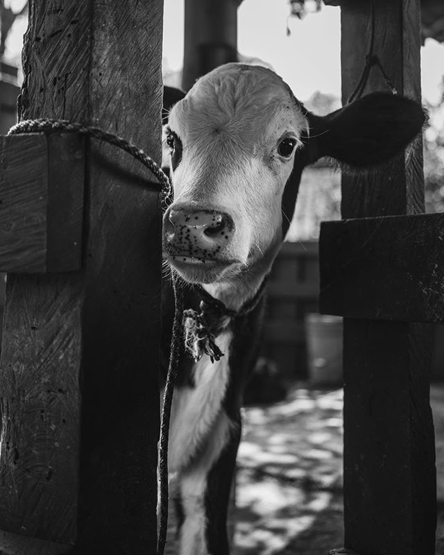 Photo 2 of 3 in series. A young calf peeks out of its pen before being fed at @villablancahotel in San Ramón, Costa Rica. . . . . . . #sixfootglass #sonyalpha #bealpha #portraits_mf #environmentalportrait #costarica #CR #villablanca #cloudforestreserve #costaricaexperts #crfanphotos #visitcostarica #puravida #doticosreallysaypuravida