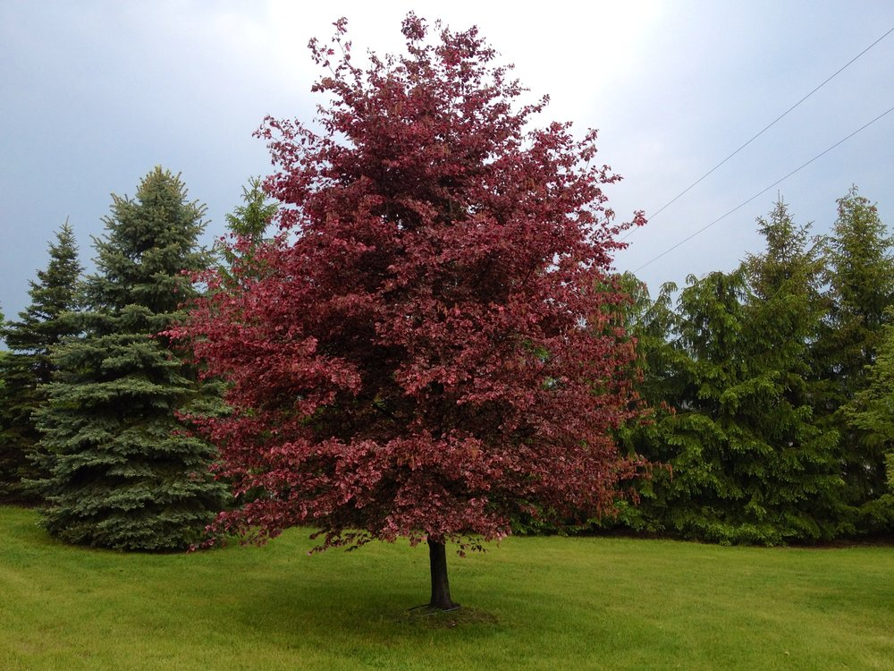 Featured Trees - Looking for something uncommon or with a unique appearance? Our tree inventory includes a selection of featured trees that have been hand picked by our in-house arborist.