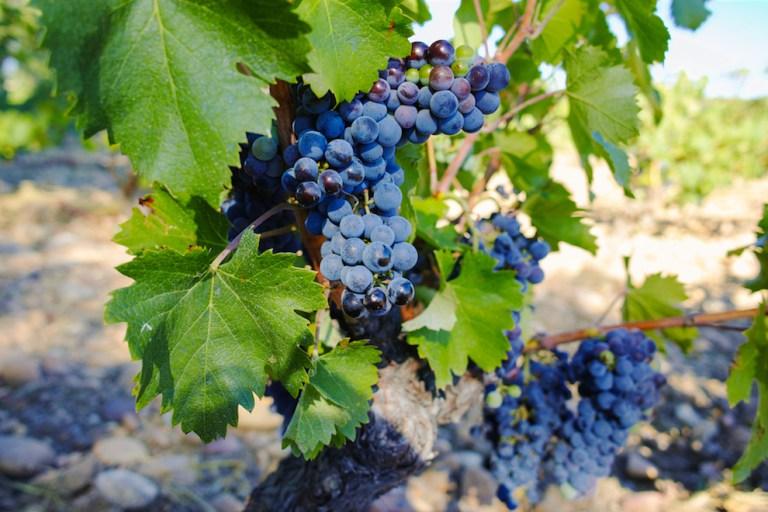 chateauneuf-du-pape-grapes