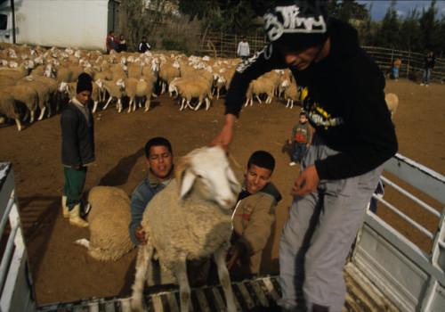 loading-sheep-crop1.jpg