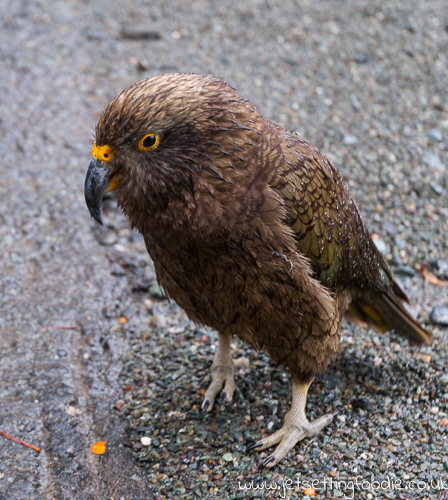 Kea parrot at entrance of Homer Tunnel