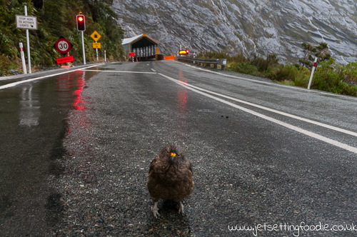 Curious Kea approaching barefooted me