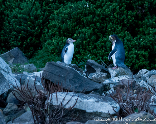 Yellow-eyed penguins in their evening ritual