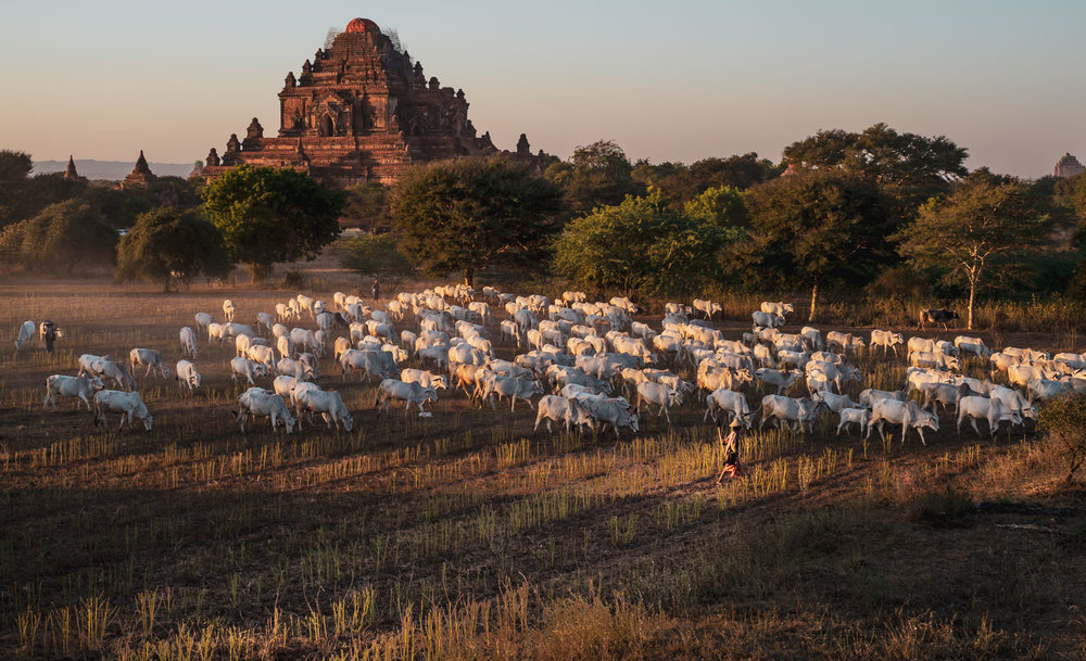 Bagan water buffaloes at sunset, with Dhammayan Gyi Temple in the background.