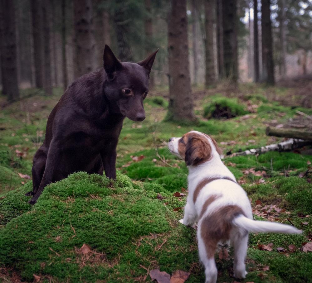 hundfotograf skåne kooiker kelpie