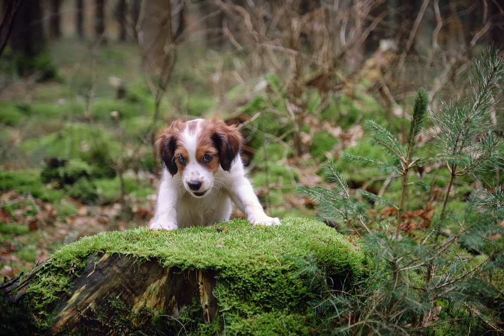 hundfotograf skåne kooiker