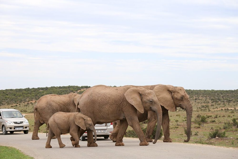 A family of elephants in the road in South Africa
