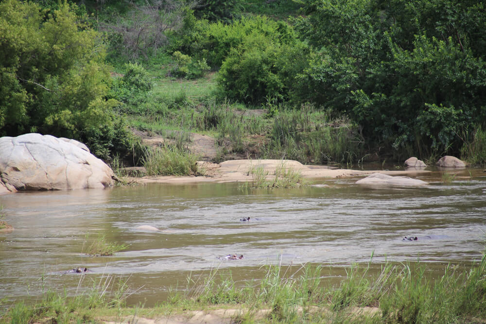Hippos in Kruger swimming in the river