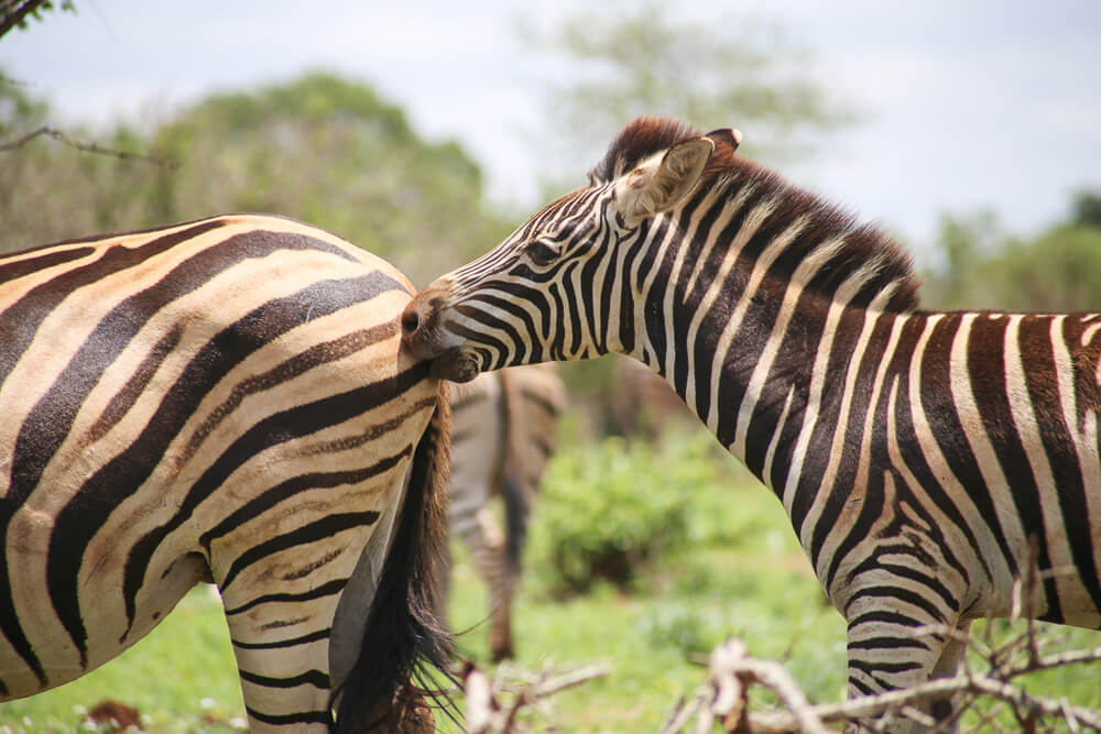 Zebras playing in South Africa