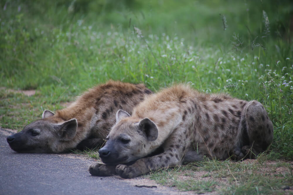 Two hyena on the side of the road on a self drive safari Kruger National Park