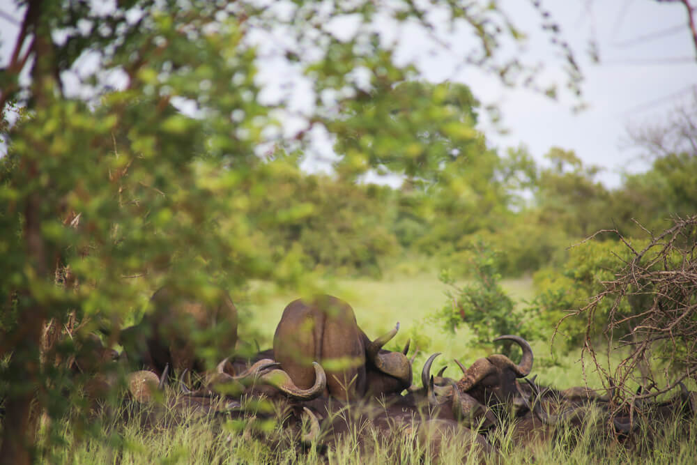A herd of buffalo in Kruger South Africa