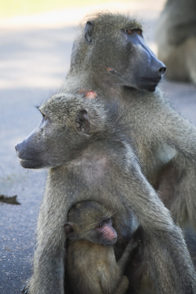 A family of baboons in Kruger Safari