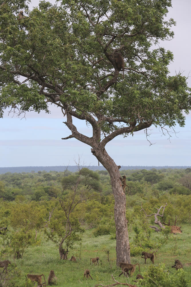 30 Photos of a Safari in Kruger National Park in South Africa, Safari Photography in Kruger #Kruger #Safari #SouthAfrica #Africa #SelfDriveSafari #Big5Safari
