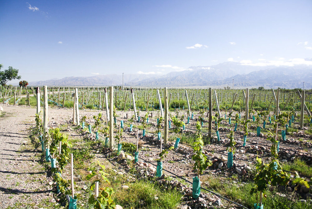 The vineyards of Gimenez Riili in Mendoza