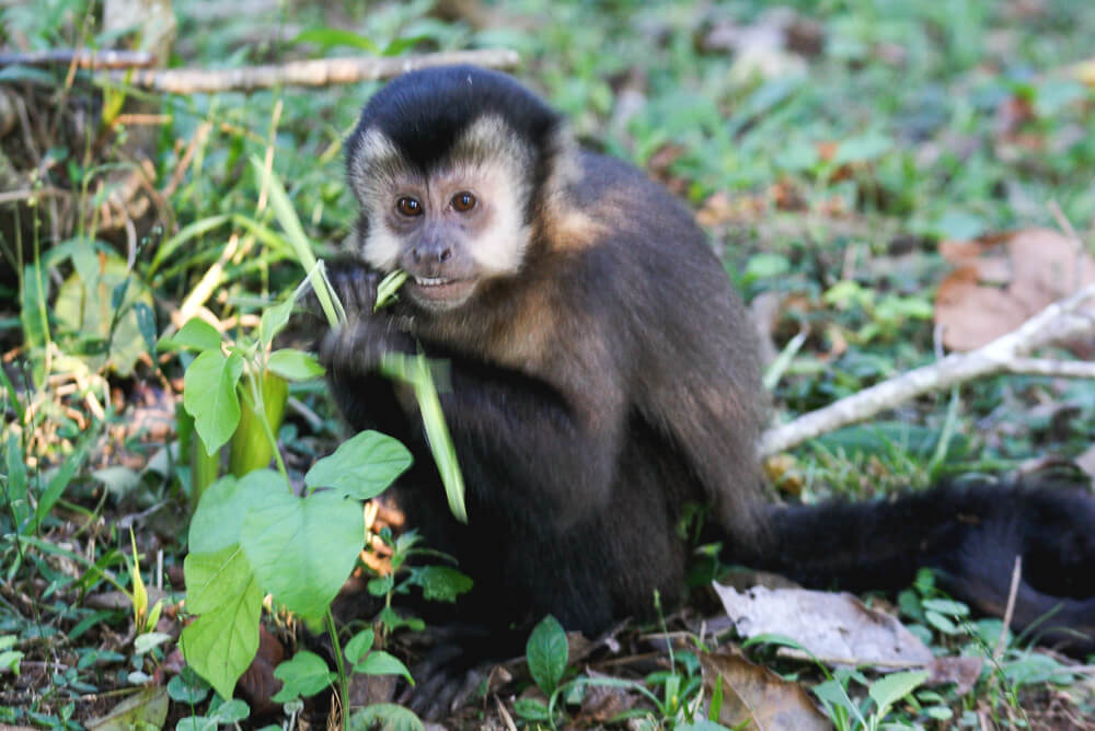 Tiny monkey eating grass in the Iguazu National Park