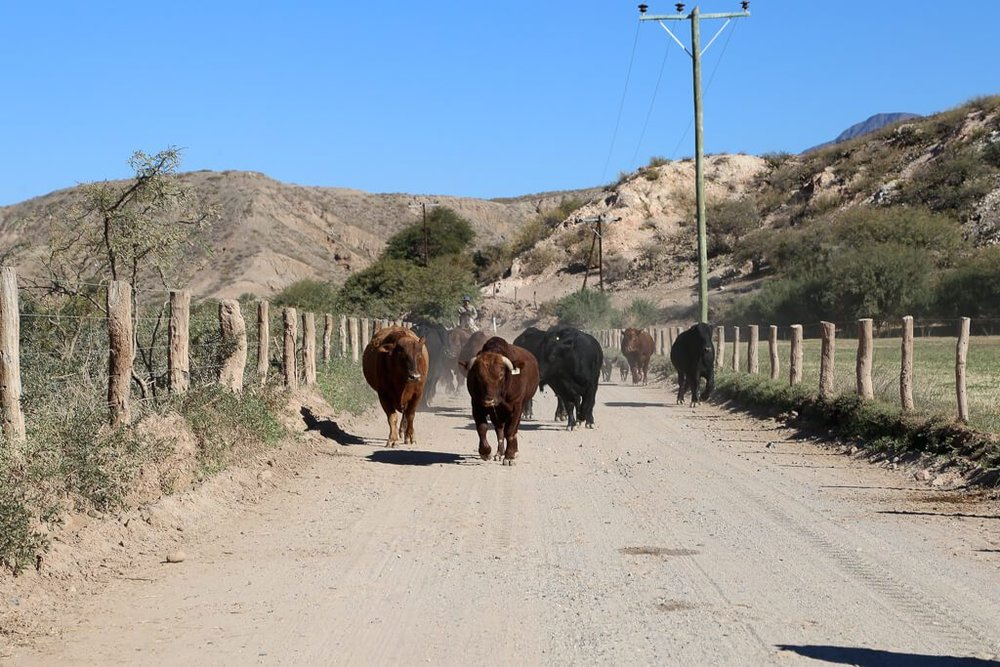Cattle in the road in Salta Argentina