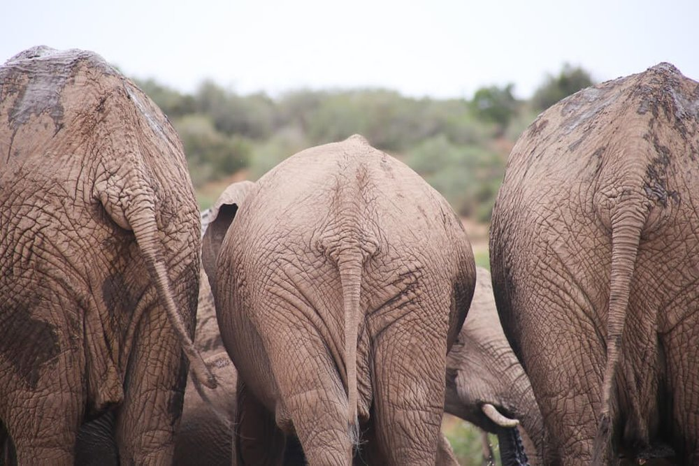 Three elephants in Addo Elephant National Park South Africa