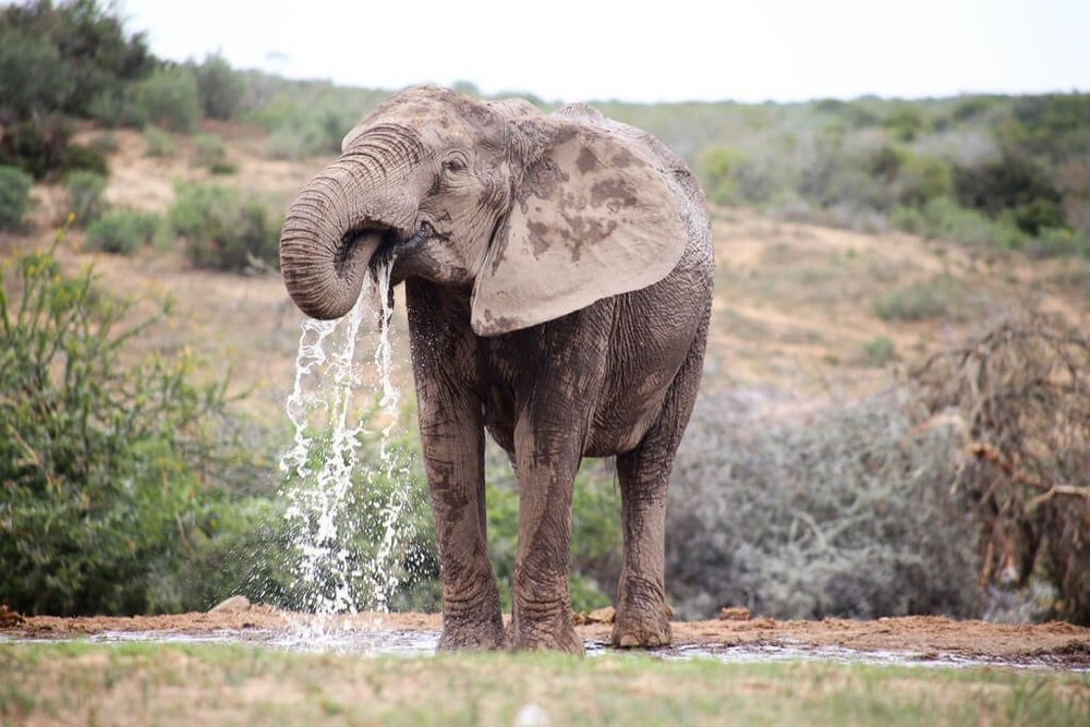 How to do an Addo Elephant Park Safari in South Africa in Addo Elephant National Park #Elephants #Addo #southafrica #africa #safari