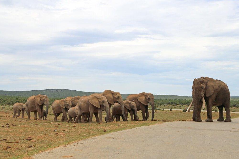 Elephants cross the road in Addo Elephant Park Safari