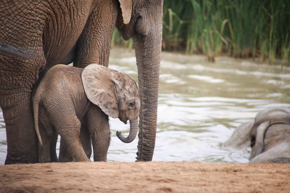A baby elephant next to his mom by the watering hole in Addo Elephant Park