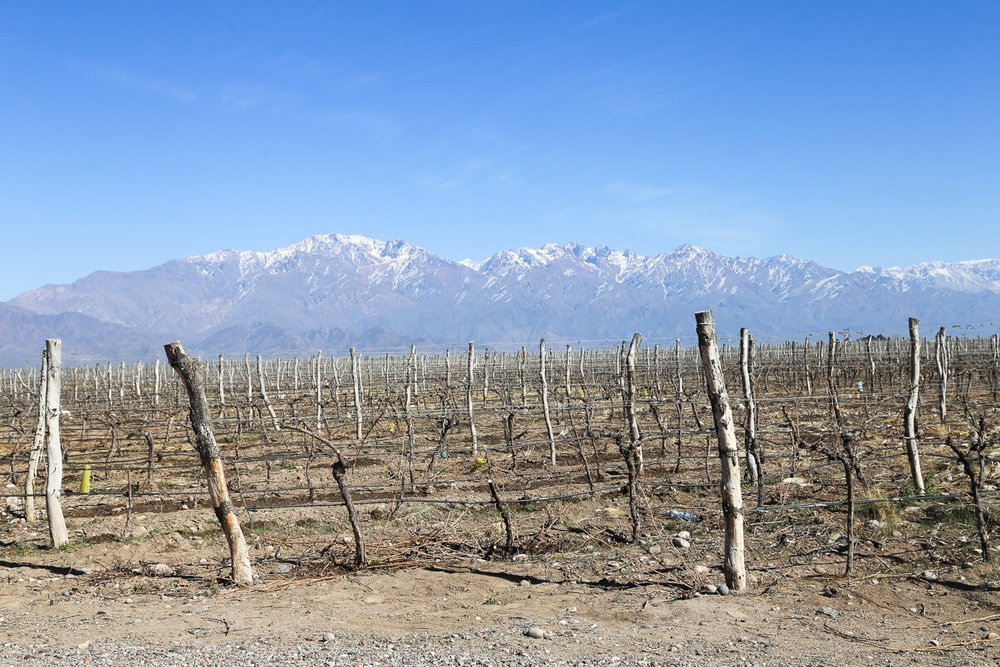 A vineyard in Mendoza in winter against the snowcapped Andes Mountains