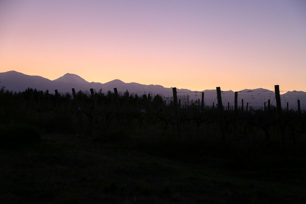 The sunset in Mendoza over the vines in a vineyard