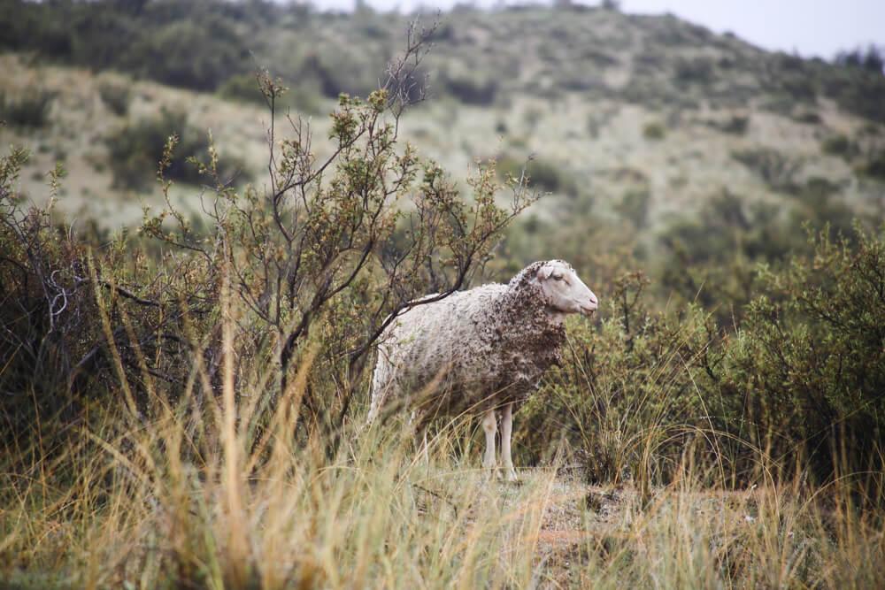 Sheep on an estancia in Puerto Piramides