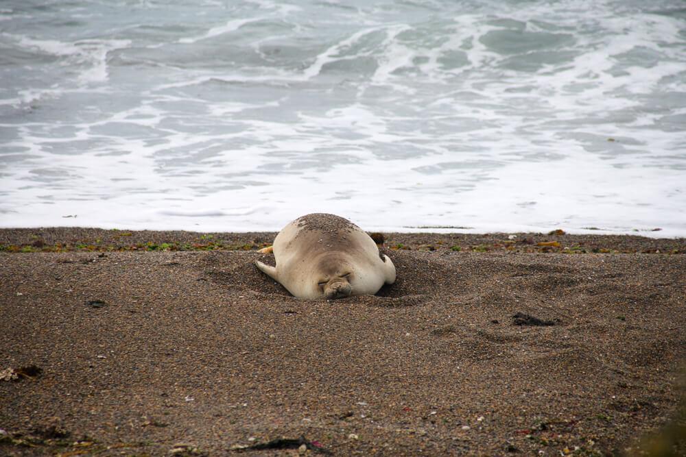 Elephant seal sleeping in the tide
