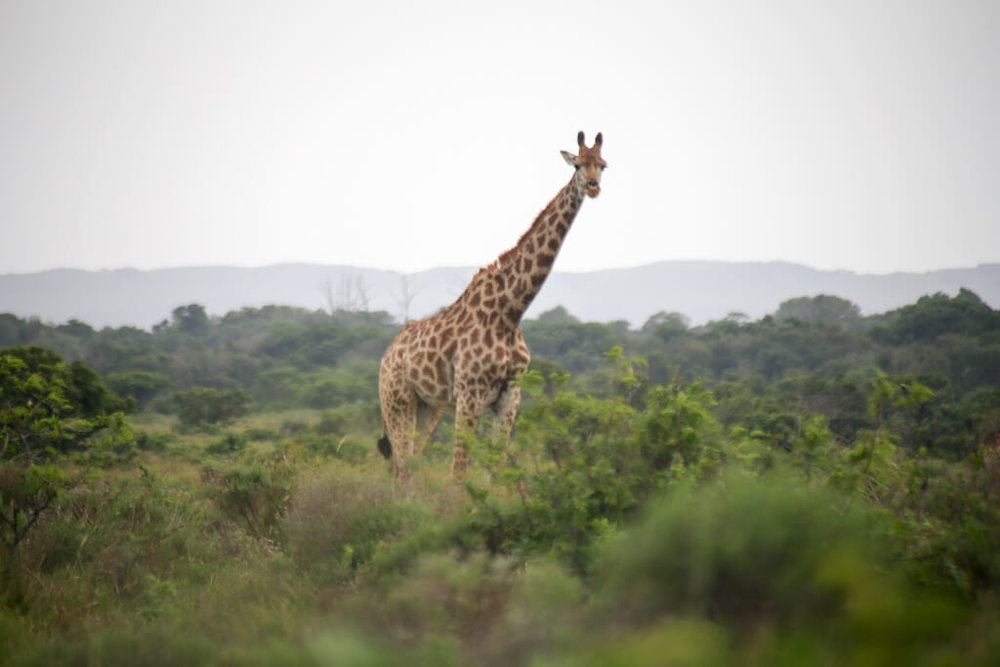 Giraffe at Isimangaliso Western Shores in St. Lucia