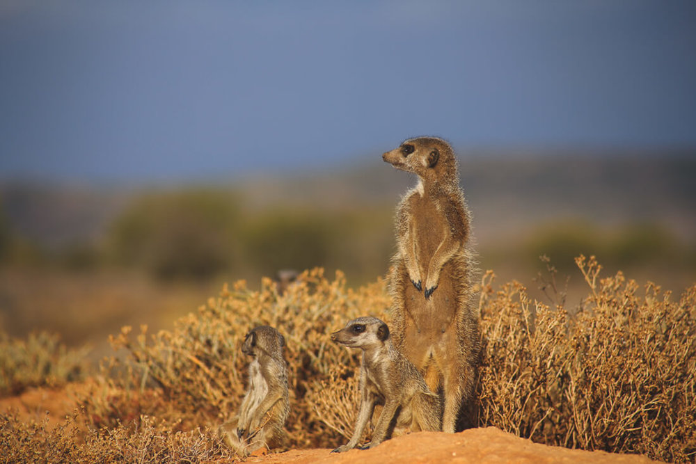 How to see Meerkats in Africa