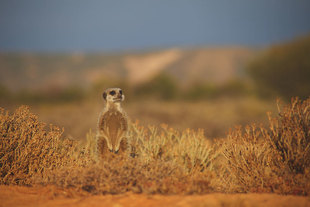 Meerkats in South Africa Tour