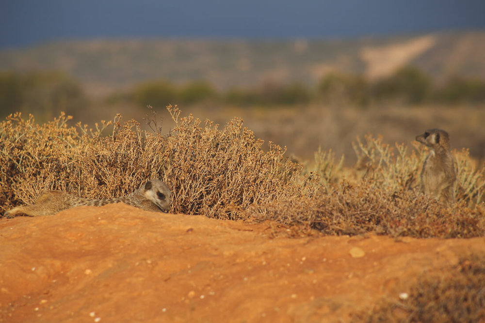see meerkats in south africa