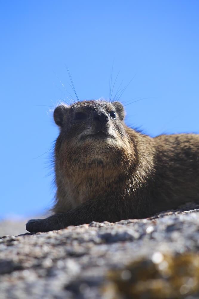 A dassie rat at Boulders Beach