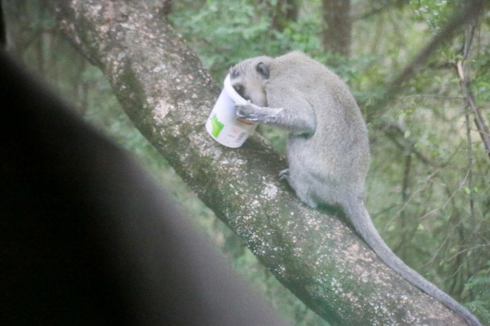 Vervet monkey in Mpila Camp Imfolozi