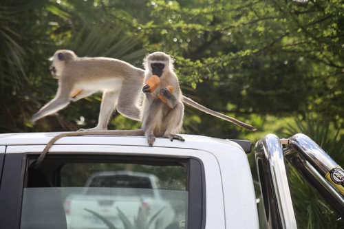 Aggressive monkeys at the Hluhluwe Accommodation at hilltop